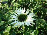Echinacea SLG VG (3).JPG