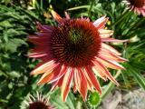 Echinacea SLG VG.JPG