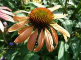 Echinacea Summer Breeze.JPG