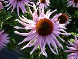 Echinacea SLG (2).JPG