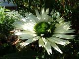 Echinacea Virgin (3).JPG