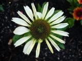 k2-Echinacea 8.7.08 004.jpg
