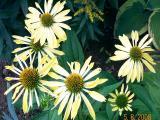 k-Echinecea gelb.jpg