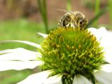Honigbiene Sonnenhut.jpg