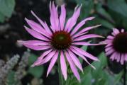Echinacea Maxima.JPG