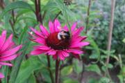 Echinacea magnus vintage wine u. Hummel.jpg