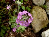 Primula farinosa_520.JPG