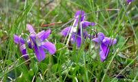 Blaue Veilchen im Gras 5.4.10.jpg