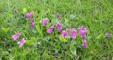 Rosa Veilchen im Gras 5.4.10.jpg