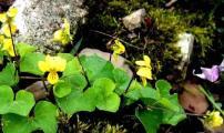 viola biflora3.jpg