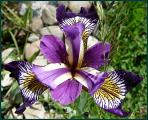 Iris--.JPG