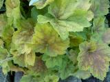 k-Heuchera Miracle 1.JPG