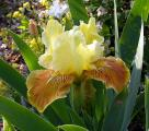 Iris Golden Muffin 2 7.5.08.jpg