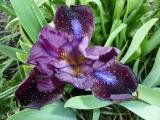 k-Iris Samtpfötchen 1.JPG