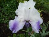 k-Iris Latest Style.JPG