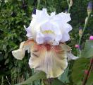Iris Guatemala 12.5.11.jpg
