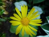 Doronicum pardalinanches.JPG
