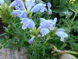 Dracocephalum argunense Fuji Blue.JPG