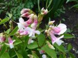 Lathyrus vernus roseus.JPG