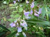 Lathyrus vernus Subtle Hints.JPG