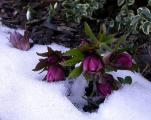 Helleborus weinrot 16.2.10.jpg