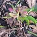 lavender anemone keller-.jpg