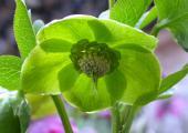 Helleborus Tantum Verde   25.3.09.jpg