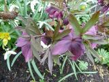 Helleborus x hybridus.JPG