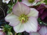 Helleborus Ice N Roses Picotee.JPG