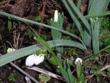 Zwei Blüten an einem Stängel.jpg