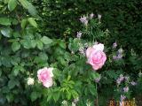 k-unbekannte Rose.jpg