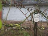 Rosen im Winter 008.JPG