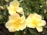 Rosa hugonis 3.jpg