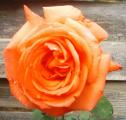gila_rose03_2.png