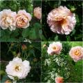 Ambridge Rose.jpg