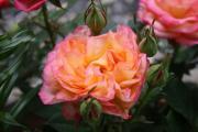 rose 017.JPG