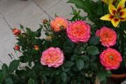 rose 019.JPG