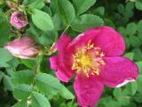 Rosa 'Single  Red Scotch'_47881.jpg