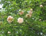 Rose 'Gloire de Dijon'_48903.jpg