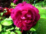 Rose 'Chianti'_51182.jpg
