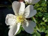 k-White Fleurette.jpg