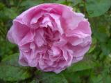 DSCN7432Mary Rose - Kopie.JPG
