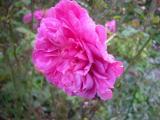 DSCN7444Sophy`s Rose - Kopie.JPG