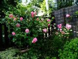 rosen 295.jpg