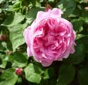 Mary Rose Einzelblüte.JPG