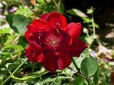 Hawlmark Crimson_RIMG1340.JPG