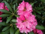 k-Rhododendron.jpg