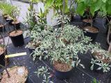 Cornus alternifolia Argentea  niedriger Etagenhartriegel.JPG