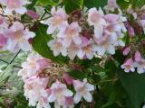 k-Kolkwitzia amabilis Pink  Cloud 1.JPG