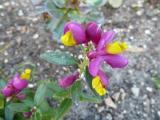 Polygala chamaebuxus Multicolor.JPG